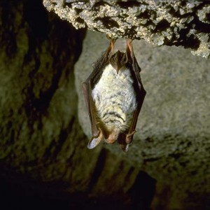 Chirottero-grotta-Vena-del-Gesso