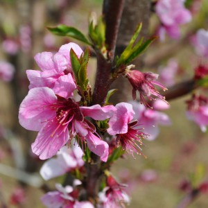 Fiore-Primavera-Brisighella